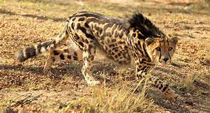 King Cheetah | Christian Sperka Photography - The Blog
