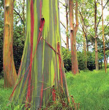 25 best ideas about rainbow eucalyptus tree on pinterest