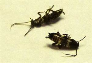 Small Black Roaches with White Stripe Bugs