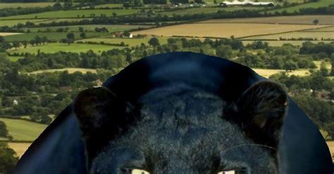 big cat sighting  wales dog walker  panther