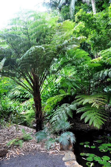 australian tree fern cyathea cooperi australian tree fern