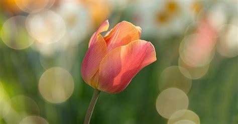 Bulbi Tulipani Quando Piantarli by Bulbi Di Tulipani Conservazione E Quando Piantarli