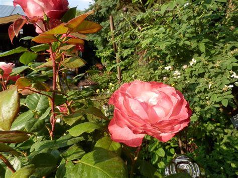 Nostalgie Im Garten  Pflanzen Art