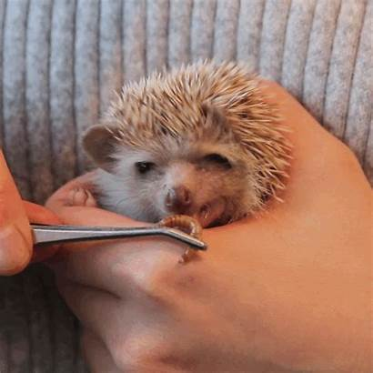 Hedgehog Tokyo Cafe Cutest Break Enjoying Prod
