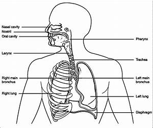 respiratory system coloring page coloring home With schematics sinecan 5
