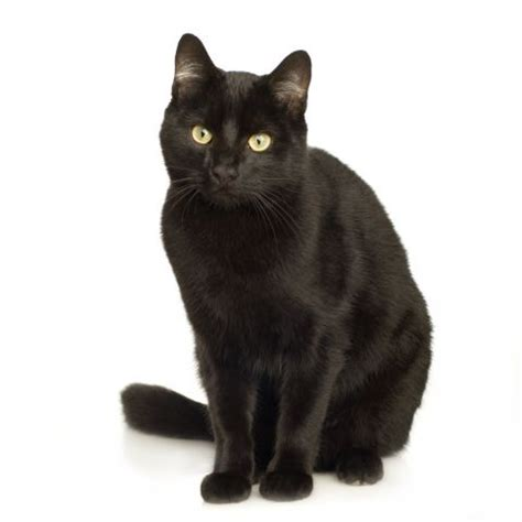 black cat superstition black cats why the superstition the bookseller