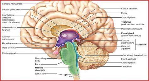 arbor vitae anatomy physiology 1 gt rule gt flashcards gt test 5 nervous system studyblue