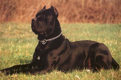english mastiff and chihuahua dog breeds picture