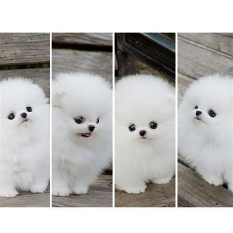 excellent white teacup pomeranian puppy