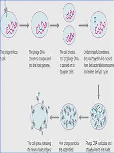 Mitosis Worksheet And Diagram Identification Answer Key