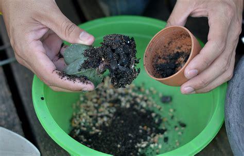 ดิน ปลูกแคคตัส สูตร เป้ หนามแดง - ต้นไม้และสวน