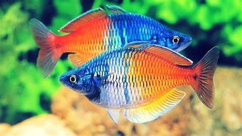 Makanan Ikan Hias Rainbow nama nama ikan hias air tawar dan gambarnya nama nama