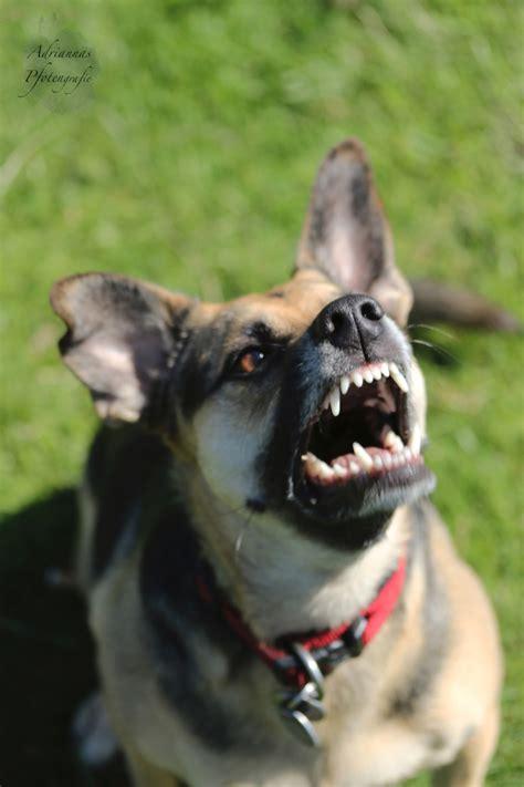 bellender hundboeser hund midoggy community