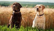 Dogs and Puppies Labrador Retriever
