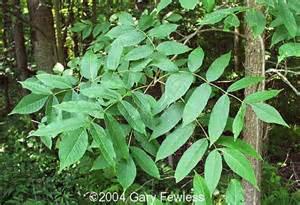 trees of wisconsin fraxinus nigra black ash