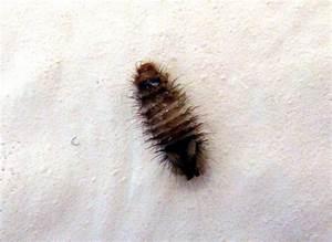 Käfer In Der Wohnung Bestimmen : k ferlarve k fer coleoptera bestimmen actias ~ Eleganceandgraceweddings.com Haus und Dekorationen