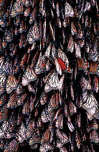 Monarch Butterfly Hibernation   www.pixshark.com - Images ...