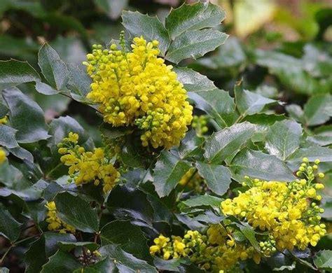 arbusti da fiore sempreverdi arbusti sempreverdi piante da giardino caratteristiche