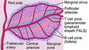 Structure Of Lymph Node And Spleen