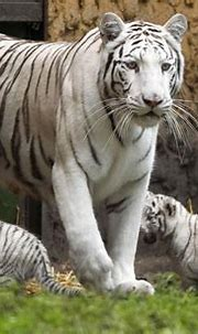 white tigers facts - Animals Time