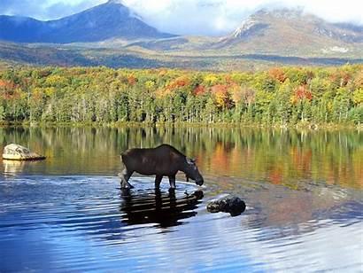 Alaska Moose Desktop Wallpapers Backgrounds Background 4k
