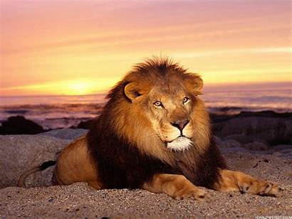Lion King Wallpapers Backgrounds Definition Lions Mane
