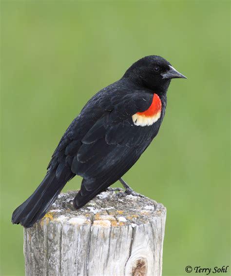 red winged blackbird south dakota birds and birding
