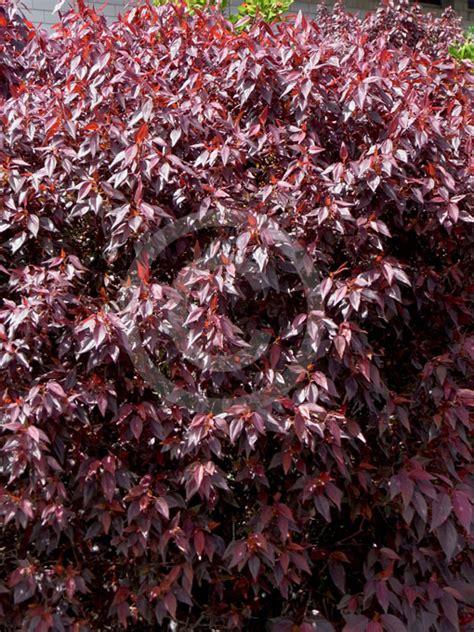 acalypha inferno inferno copper leaf information
