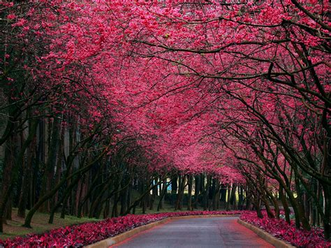 trees with pink blossoms pink trees road spring time wallpapers pink trees road spring time stock photos