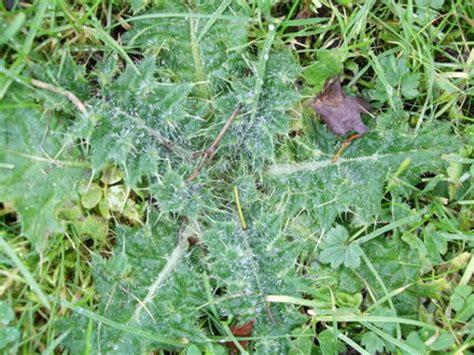 prickly weeds prickly weeds images