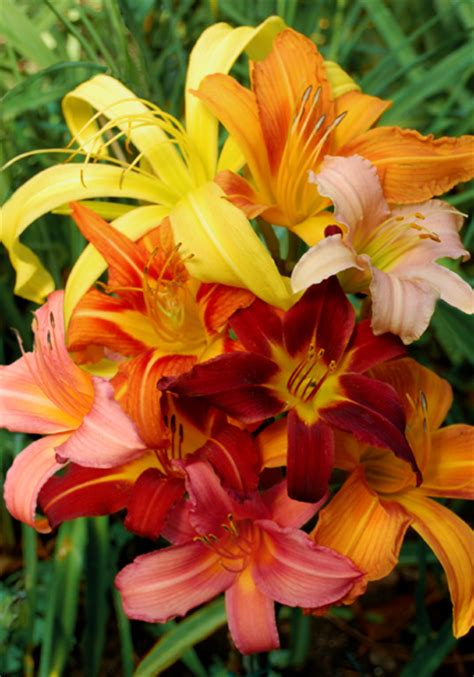 Heirloom Daylilies