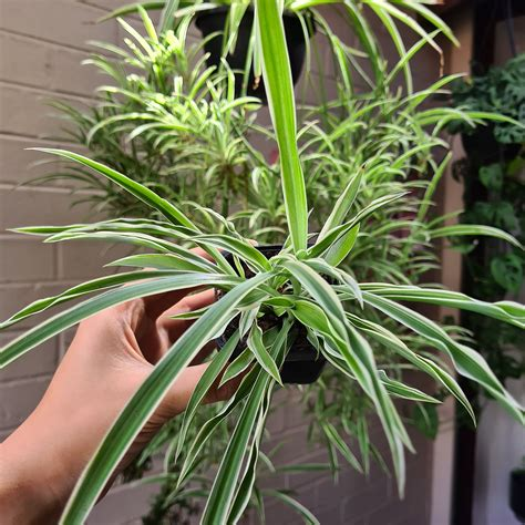 Spider plant babies Listing