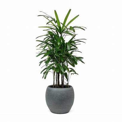 Palm Rhapis Excelsa Lady Plant Indoor Pot