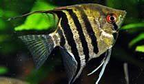 Fische Swasserfische Gut Fr Anfnger