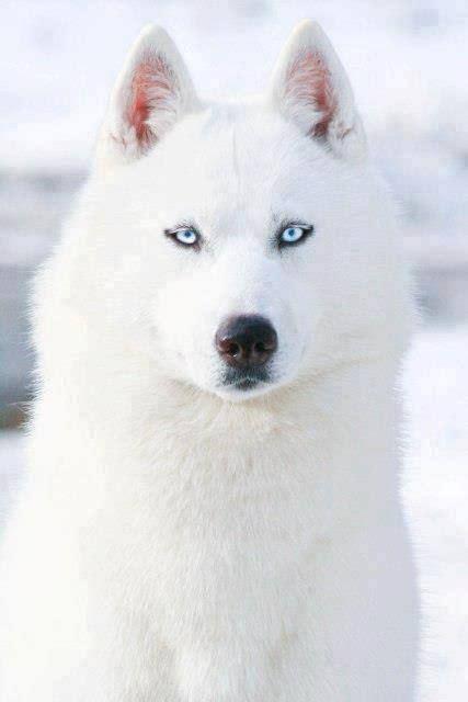 Siberian Husky Sled Dog Names