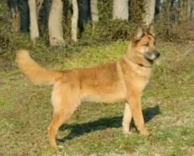 belgian malinois vs dutch shepherd dog breeds picture