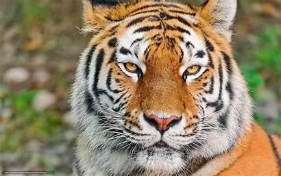 Tiger Desktop Tigre Siberiano Tygr Ver Face