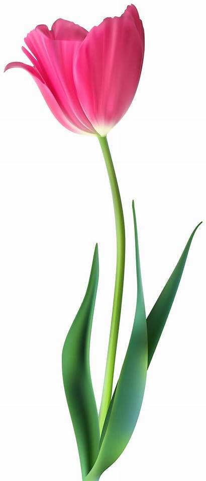 Tulip Clip Clipart Decorative Flower Flowers Transparent