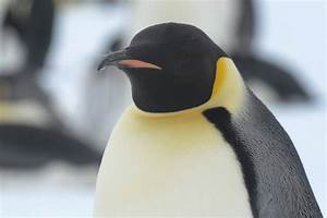 Emperor Penguin | Facts, pictures & more about Emperor Penguin