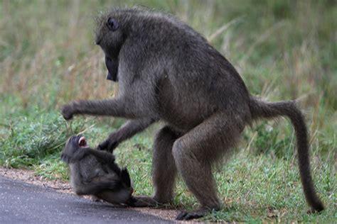 mammals monkeys photografrica