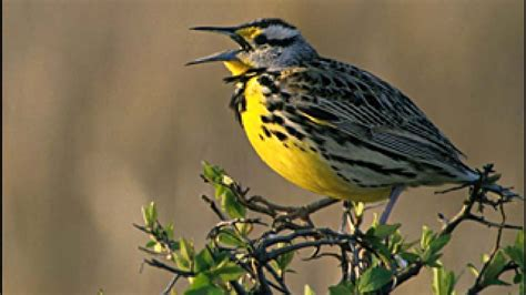 oregon lawmaker looks to replace meadowlark as state bird