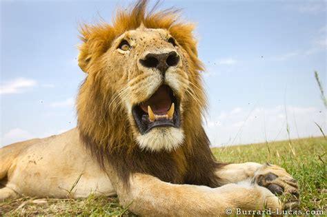 lion jaws burrard lucas photography