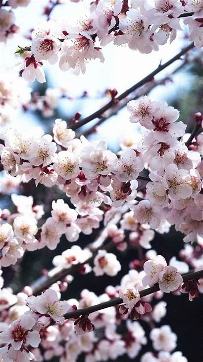 Blossom Cherry Iphone Wallpapers Background Pixelstalk Wallpaperboat