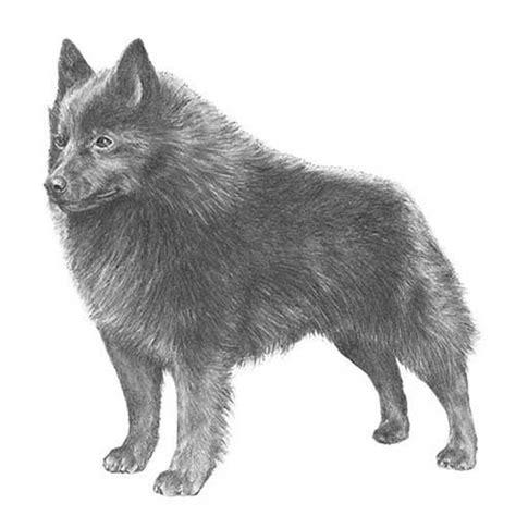 schipperke dog breed information