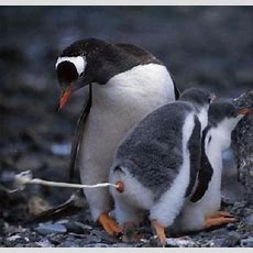 Respeito à Natureza Pinguim Se Aliviando