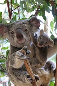 1521 best images about KOALA Little AUSSIE Cuties on ...
