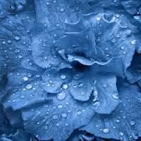 Fleurs et couleurs quelle signification le mag de for Quelle couleur avec le bleu 6 la signification des roses quelle couleur de roses offrir