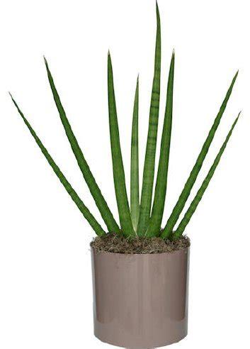 sansevieria cylindrica sansevieria triad plant company inc