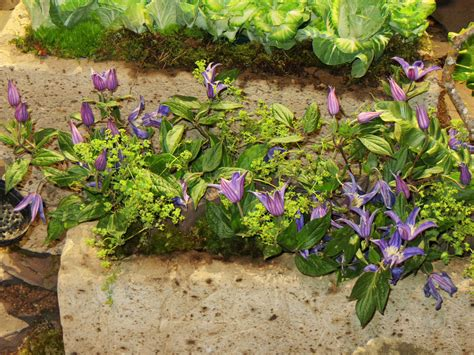 can i grow clematis in a pot 28 images clematis joe taylors clematis vines for container