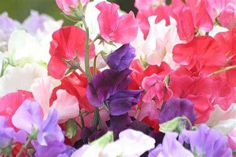 fiori di pisello piselli odorosi ortaggi piselli odorosi orto
